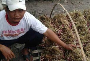 Cuaca Tak Menentu Berakibat Bibit Bawang Merah Kurang Maksimal